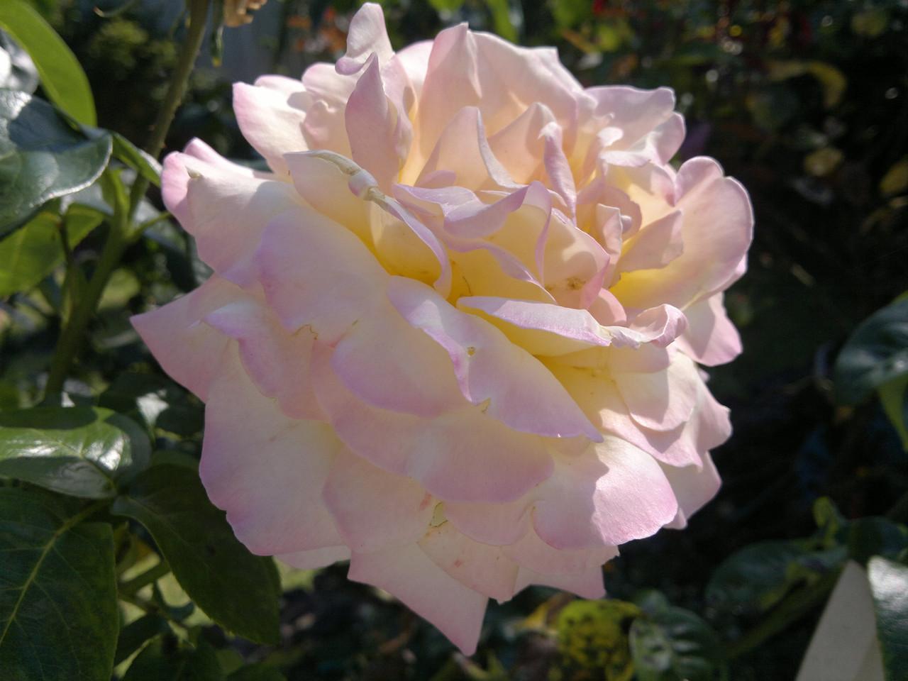 201122_0951_101 rose