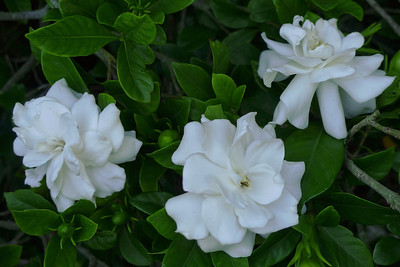 20111222_1657_5870 camellia