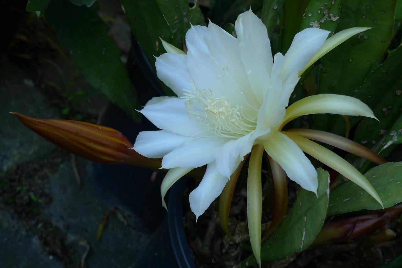 20111206_0807_5763 epiphyllum