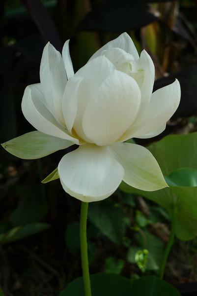 20120105_1533_6175 lotus
