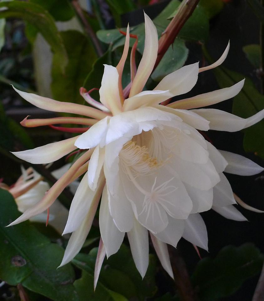 20120119_0646_6202 epiphyllum