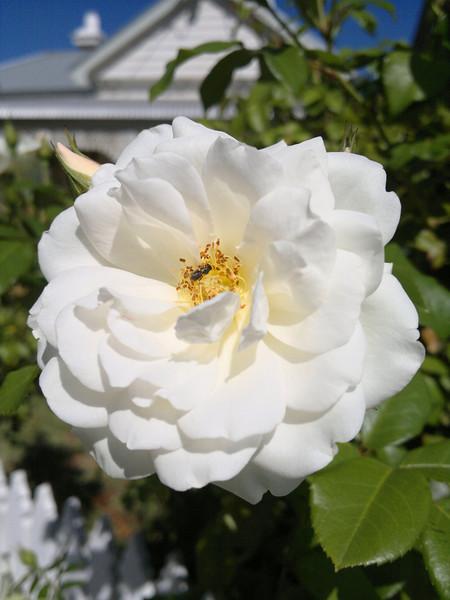 20120202_1040_172 rose