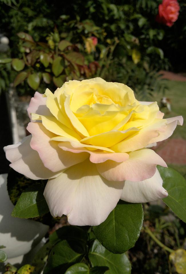 20120119_1022_150 rose
