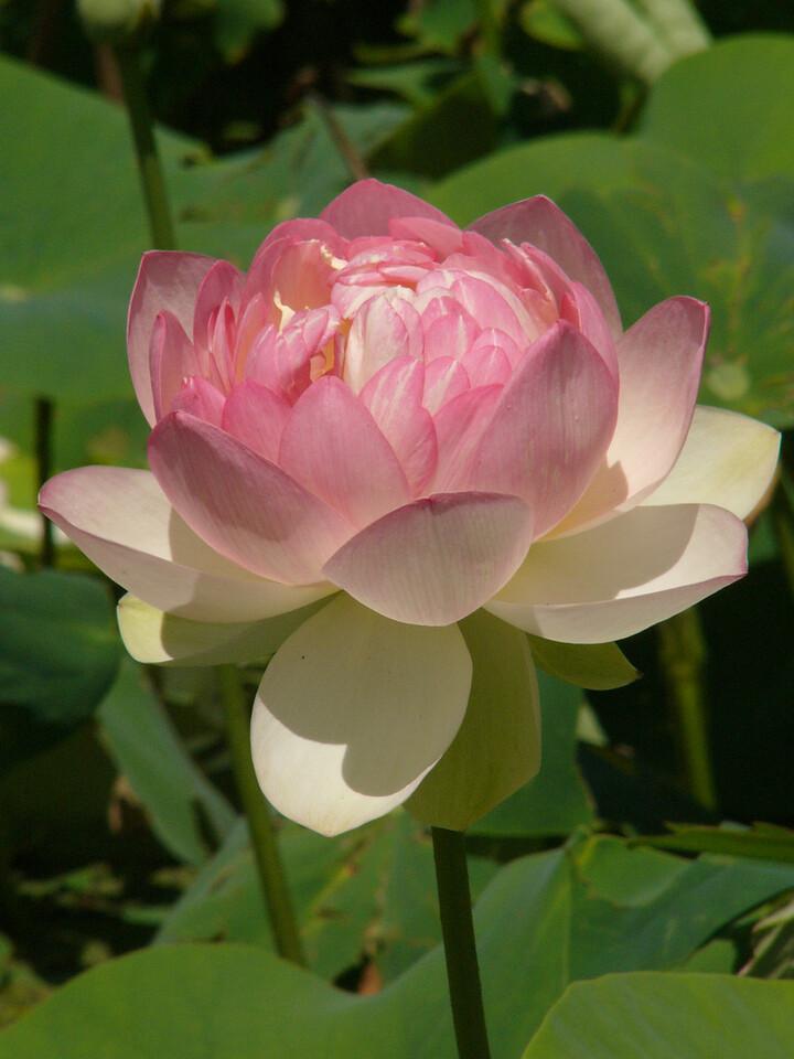 20120105_1427_3033 lotus