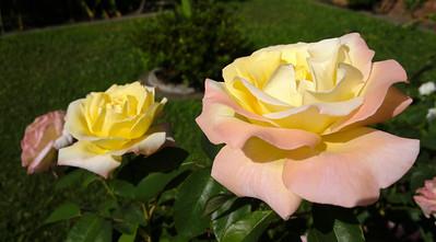 20120126_1006_161 rose