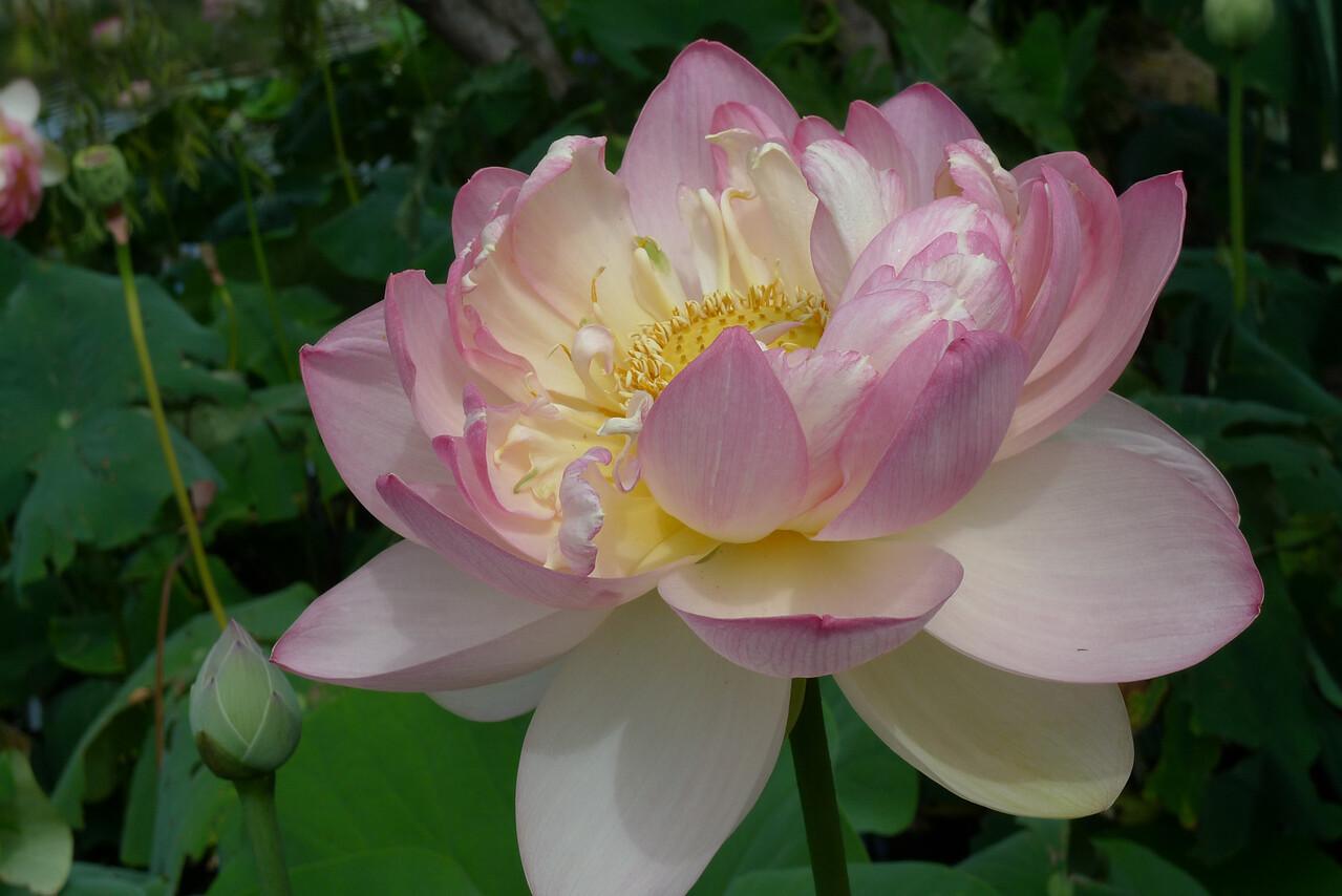 20120105_1510_6167 lotus