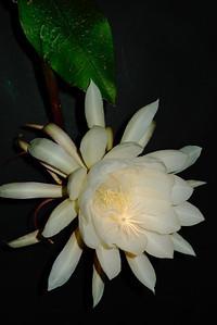 20120119_2212_6236 epiphyllum