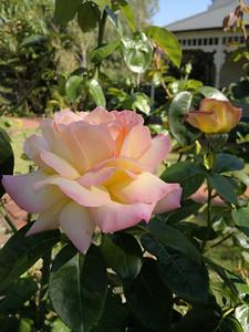 20120209_0957_180 rose