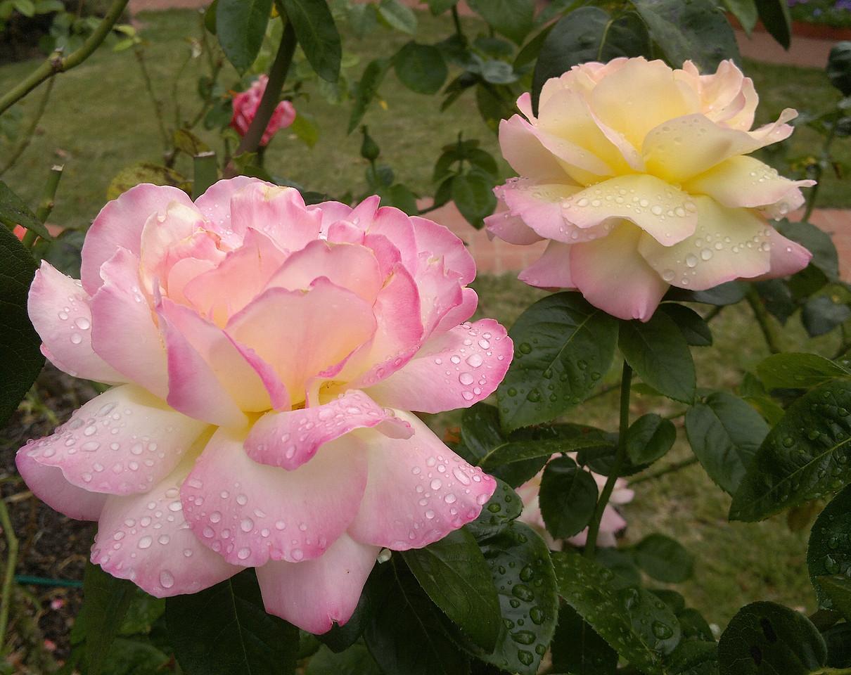 20120211_1014_193 rose