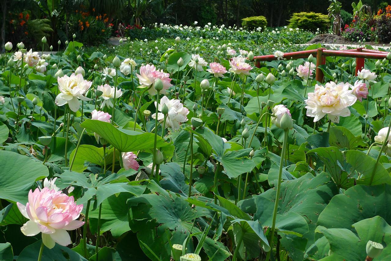 20120105_1431_6147 lotus