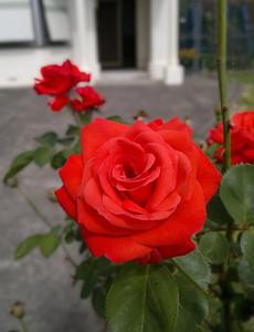 20120202_1101_178 rose