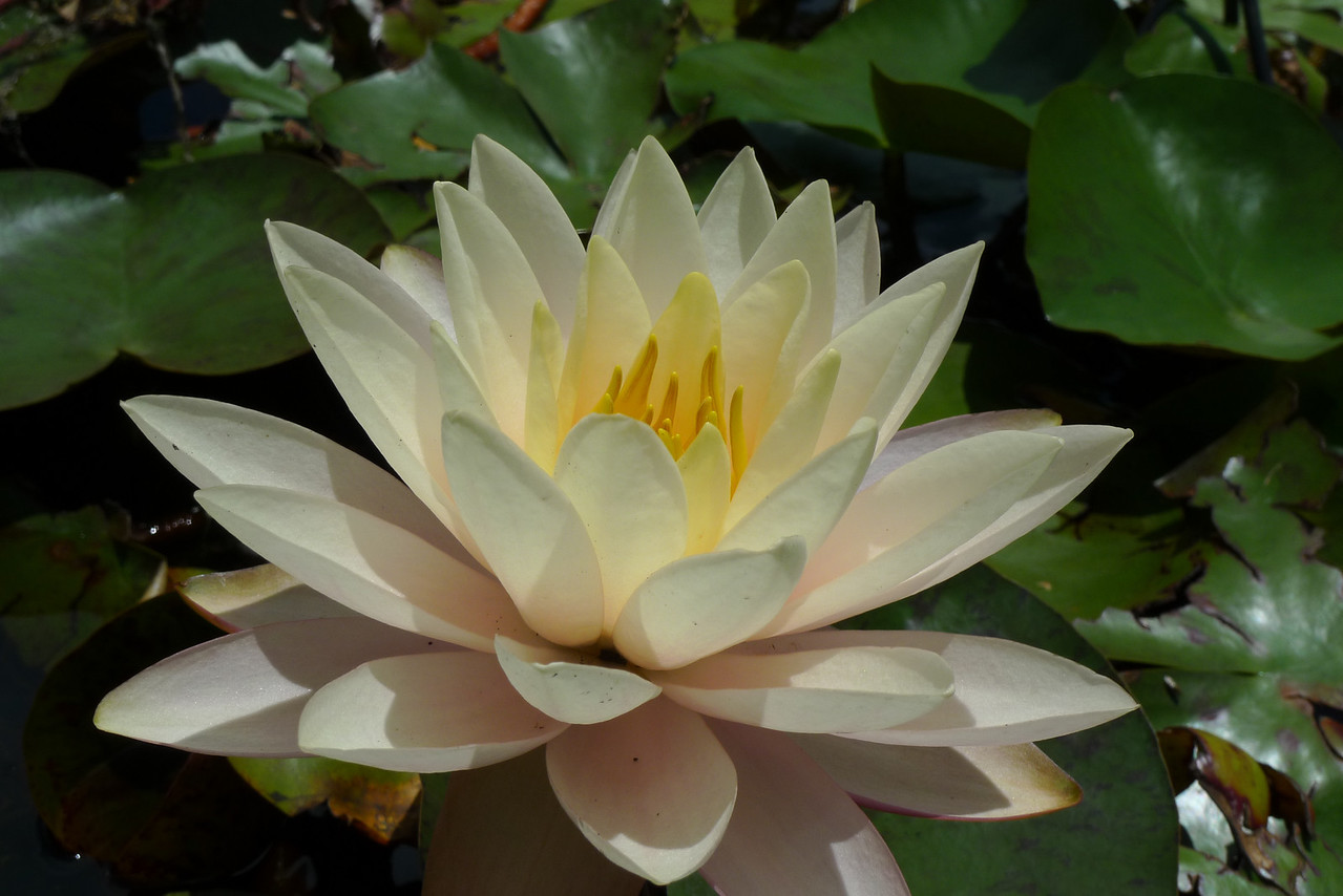 20120105_1243_6081 water lily