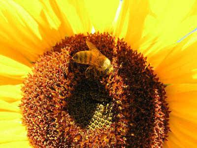 2013-09-07 sunflowers