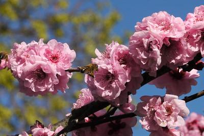20130813_1006_9793 plum blossom bee