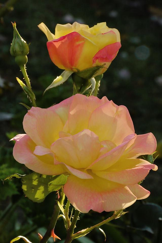 20130508_0905_8519 roses