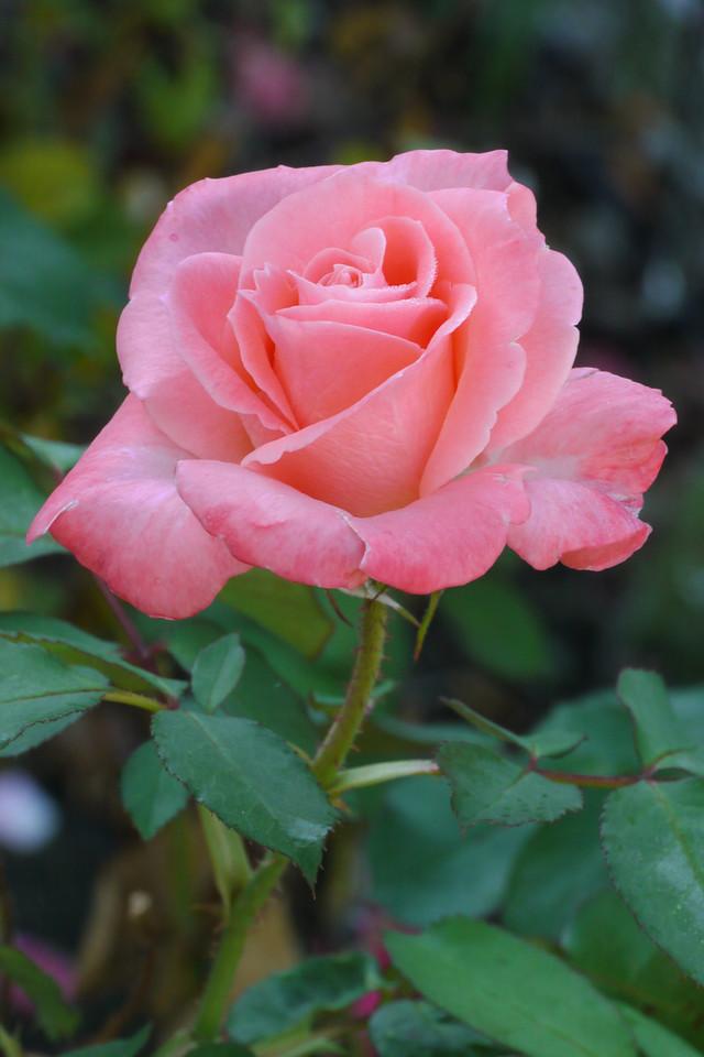 20130319_0837_7477 rose