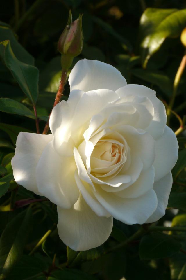 20130424_0912_8157 rose