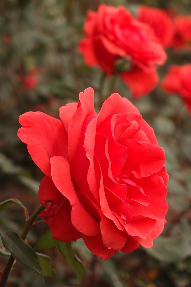 20130504_1621_4372 rose