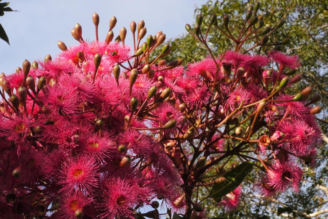 20130403_0848_7641 flowering gum