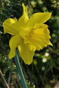 20130801_0956_9292 daffodil