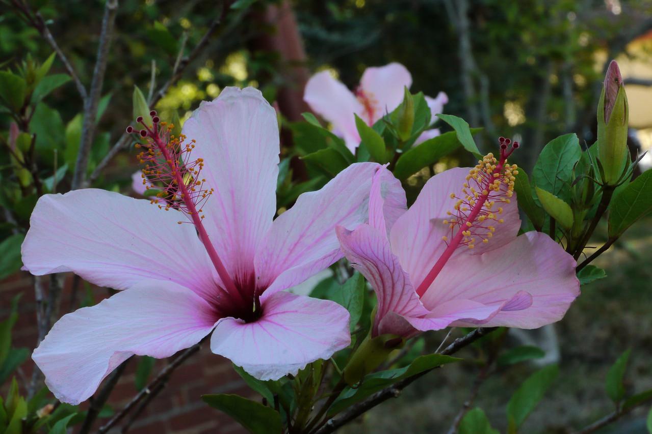 20130302_0840_7333 hibiscus
