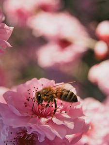 20130811_1531_0231 plum blossom bee