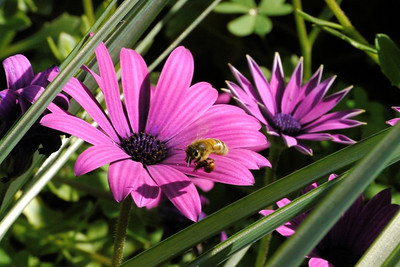 20130815_1224_9850 african daisy bee