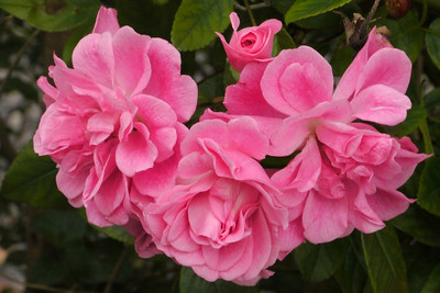 20130501_0854_8428 camellia