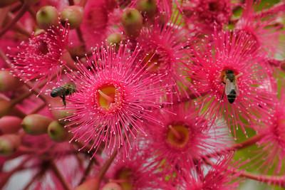 20130402_0907_7584 flowering gum