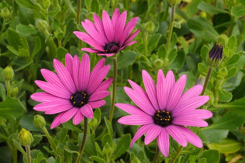 20130715_1550_9031 African daisies