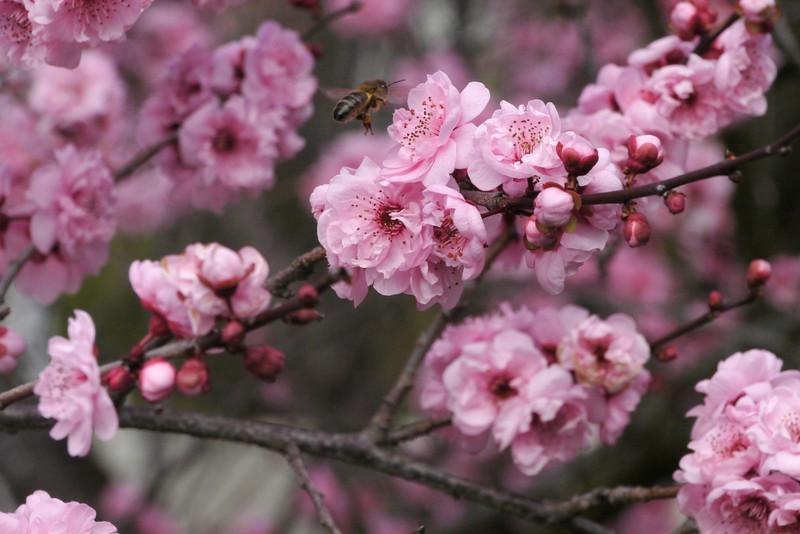 20130811_1059_9674 plum blossom bee