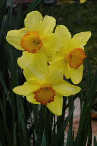 20130822_0902_9979 daffodils