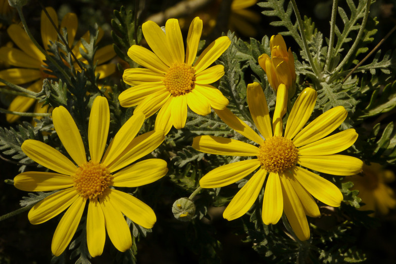 20130521_1247_8690 daisies