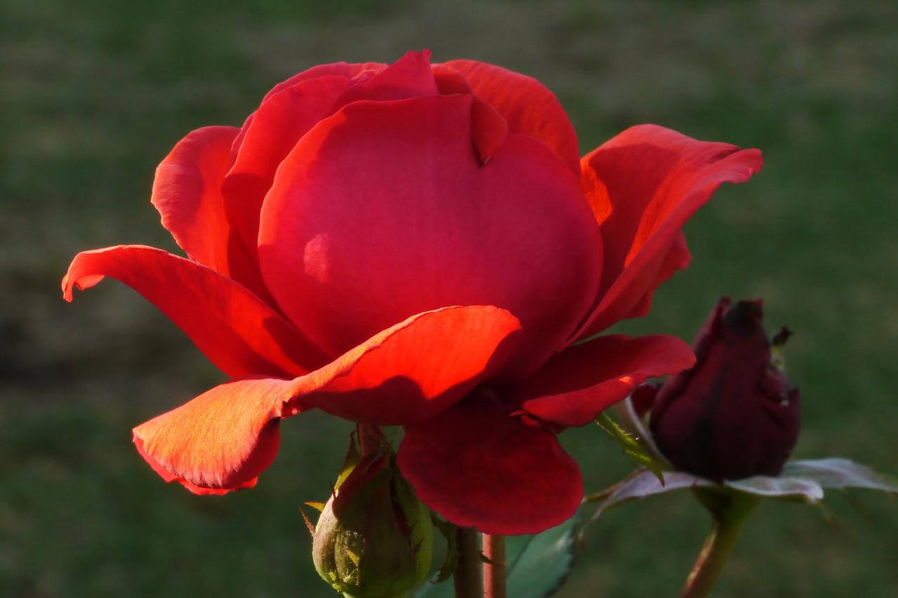 20130327_0824_7509 rose