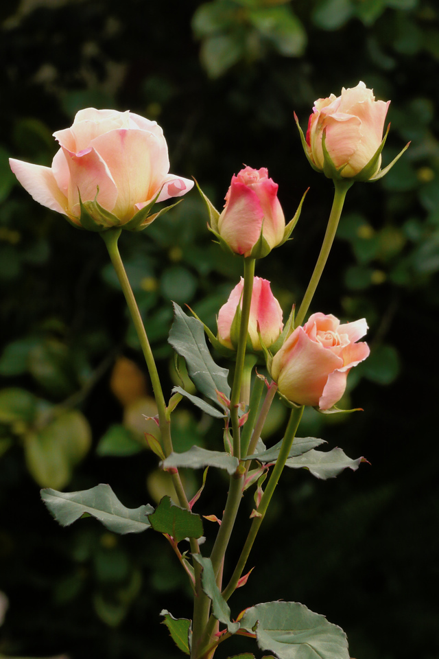 20130504_0941_8479 roses