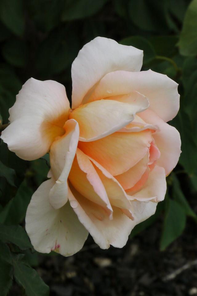 20130408_0929_7835 rose