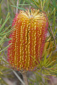 20130514_0935_8658 banksia