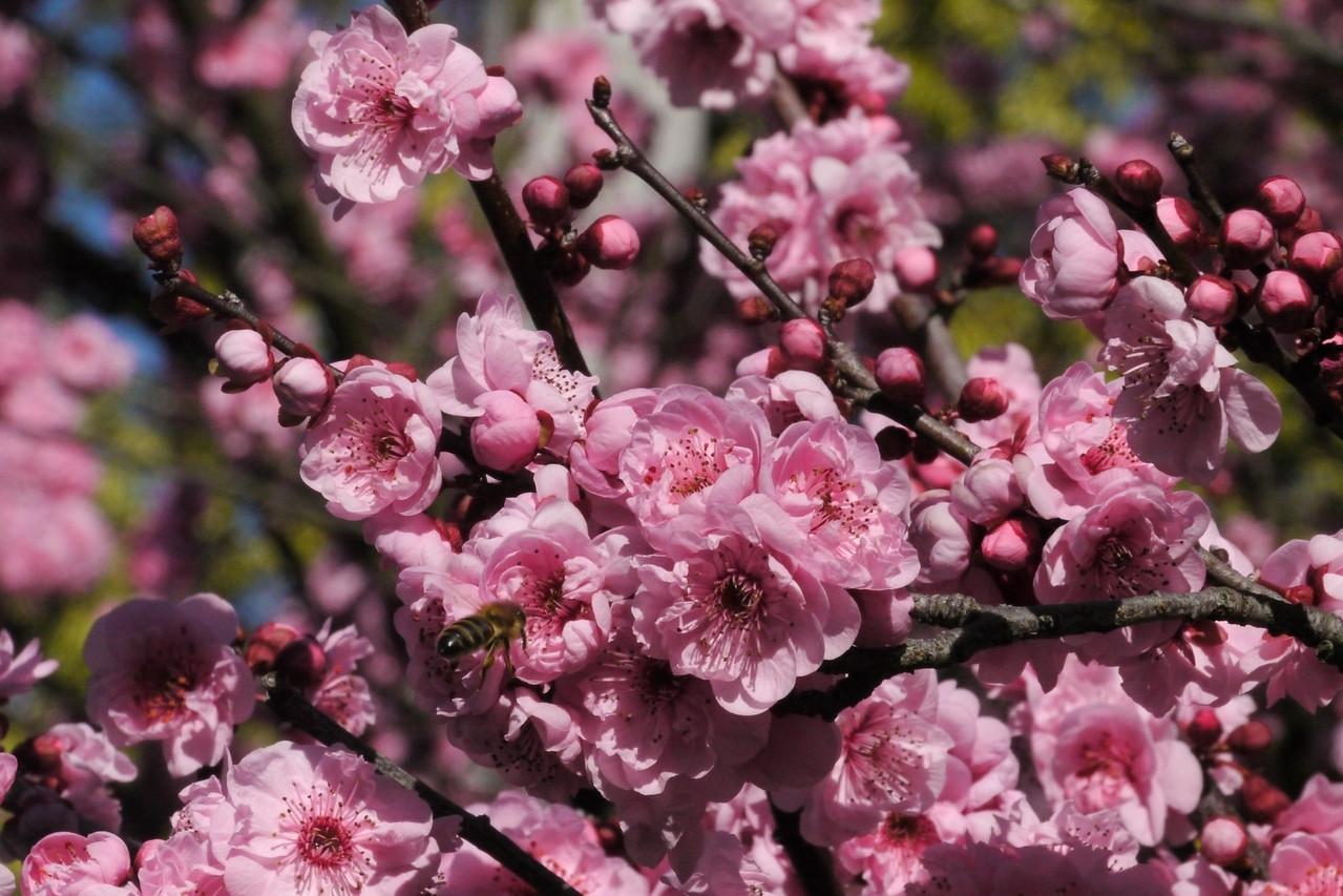 20130811_1118_9711 plum blossom bee
