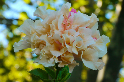 20130303_0757_7353 hibiscus