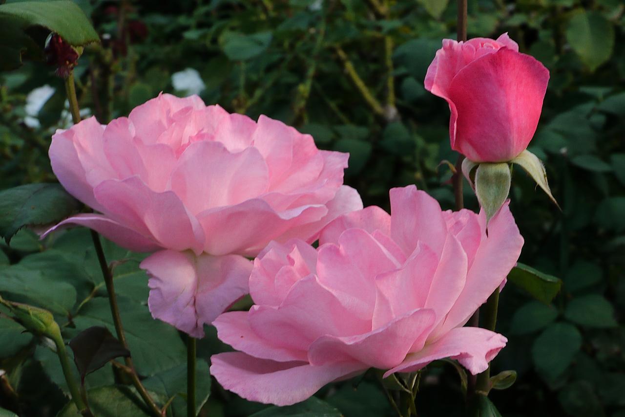 20130407_0858_7786 roses