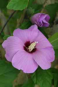 20130323_1006_7487 hibiscus