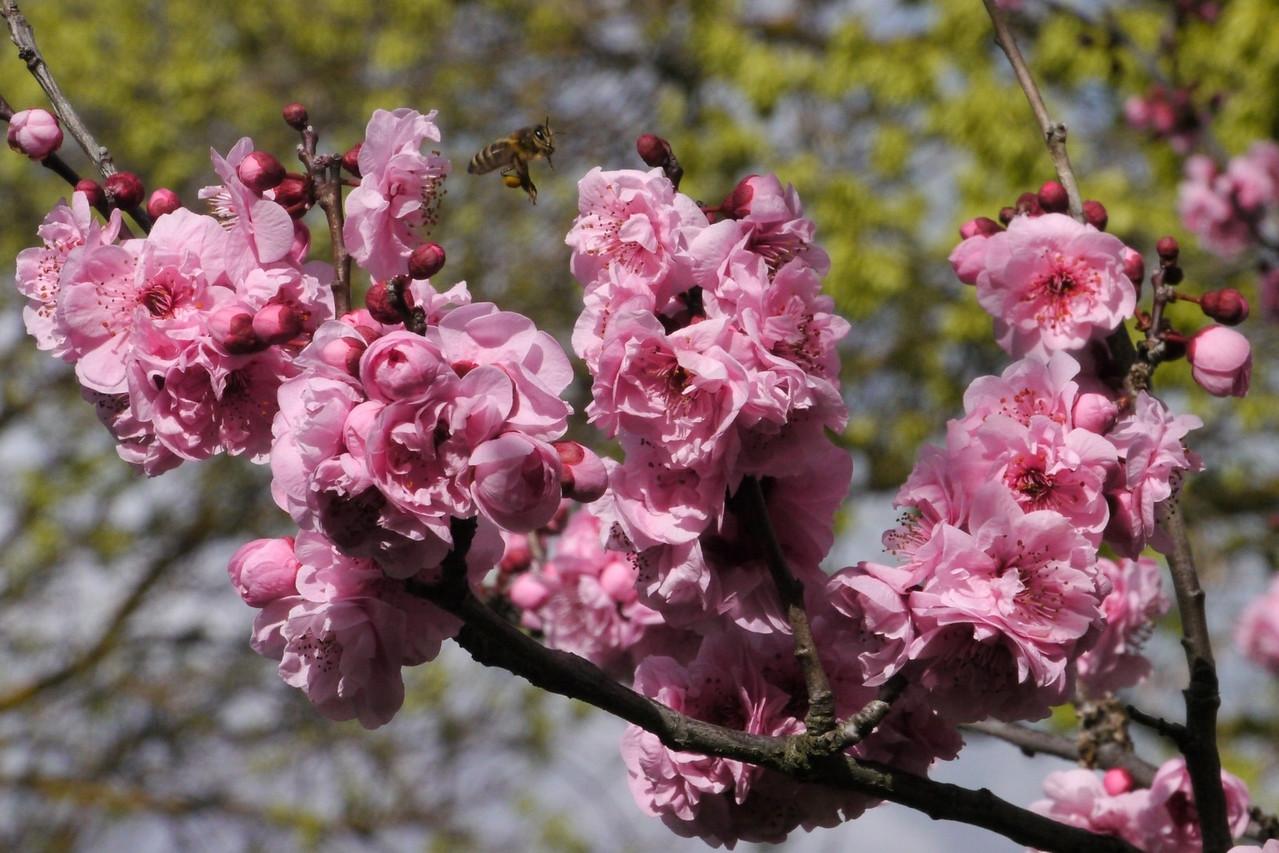 20130806_1215_9504 plum blossom bee