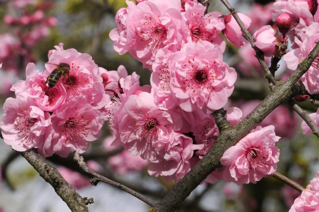 20130807_1139_9533 plum blossom bee