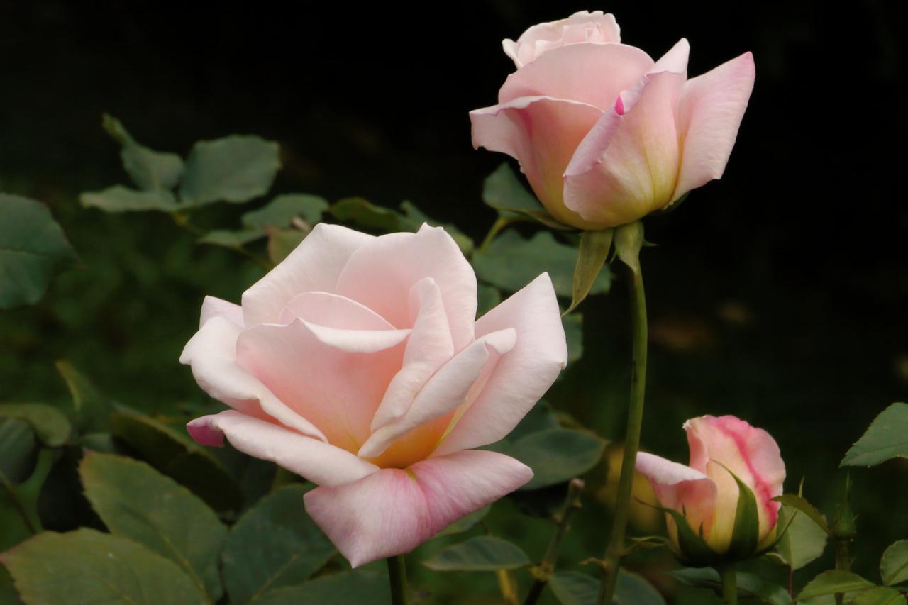 20130512_0856_8589 roses
