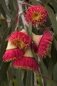 20130527_1549_8833 flowering gum