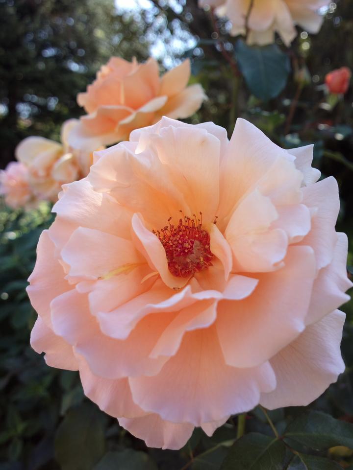 20130404_1427_0006 rose (Nokia 808 PureView)
