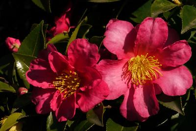 20130528_1128_8875 camellia