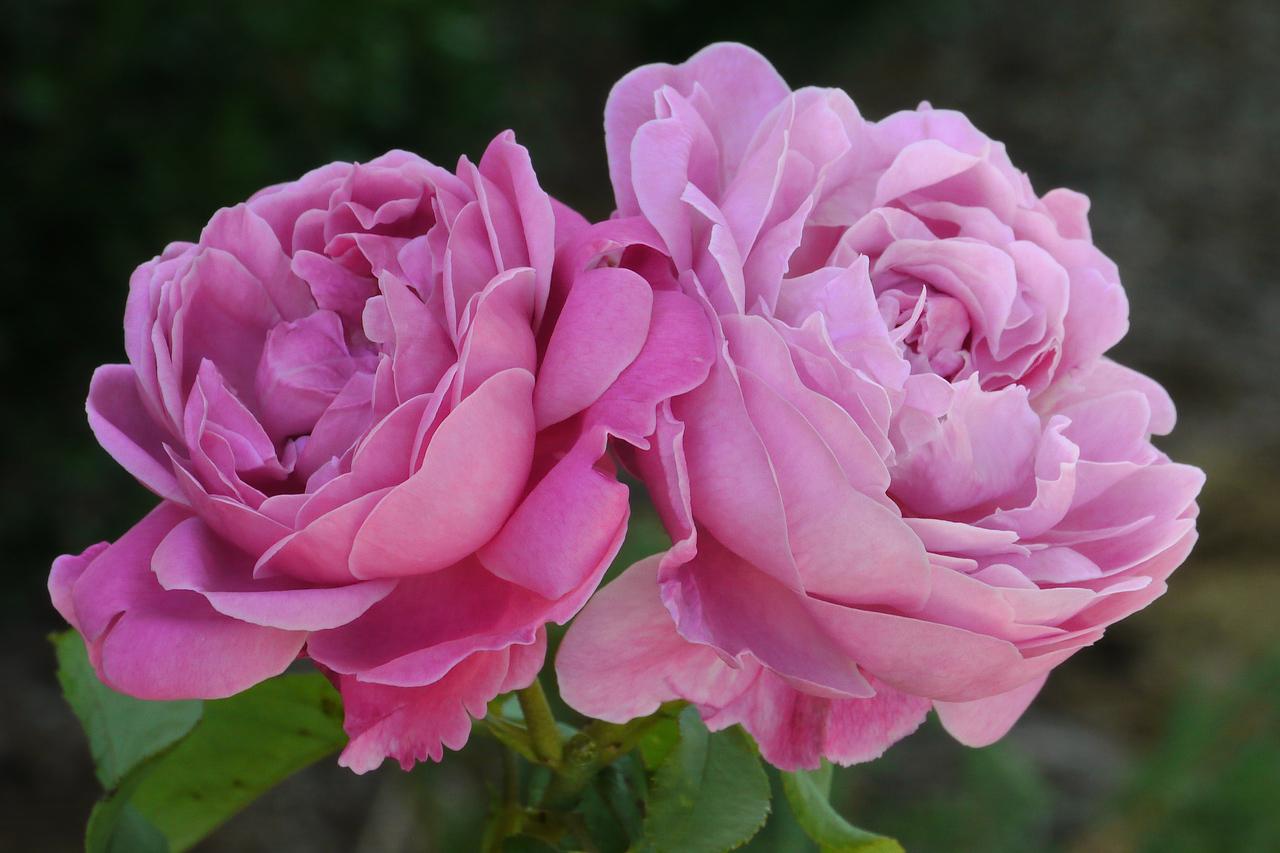 20130307_0957_7390 roses