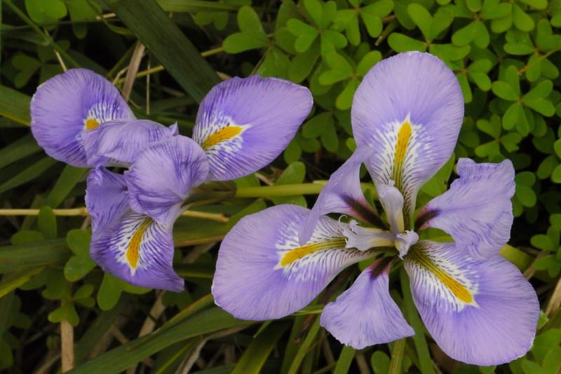 20130606_1509_8881 iris