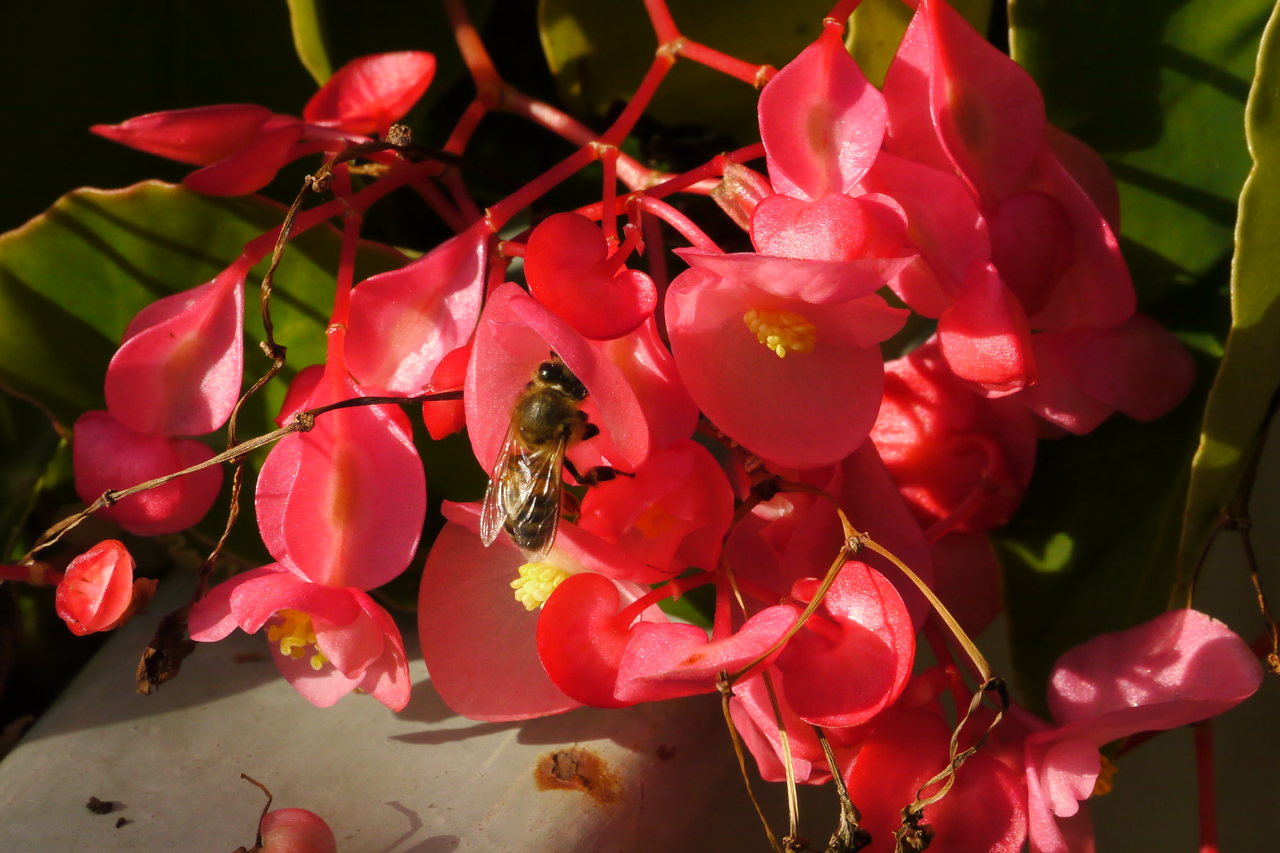 20130414_0913_7952 tree begonia and bee